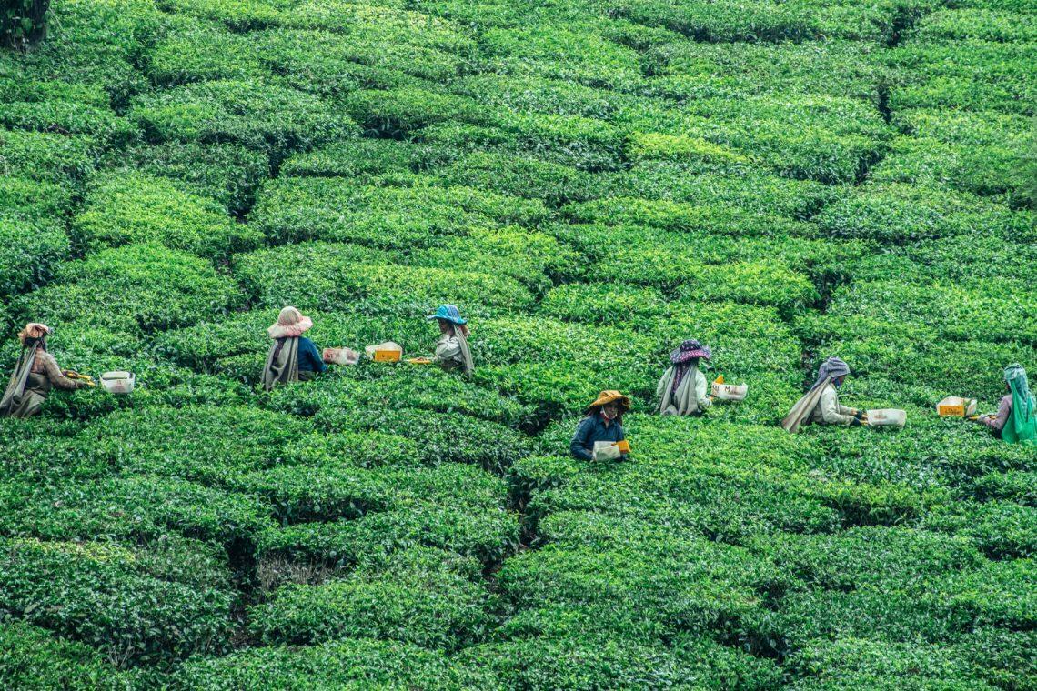 Vietnamský zelený čaj Tan Cuong